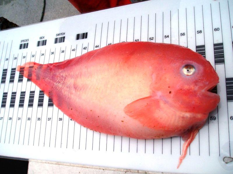 Salmon snailfish.JPG