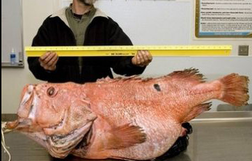 A-giant-shortraker-rockfish_9