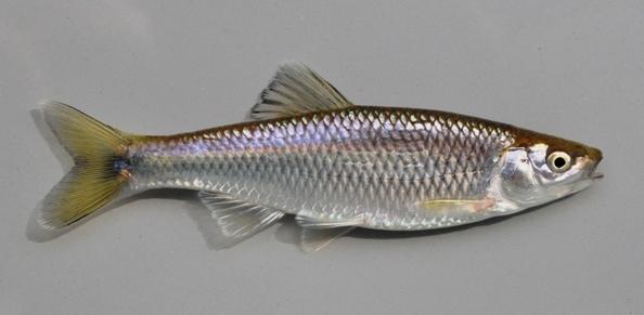 Male Spotfin Shiner from the Scioto River2 28JUL09 by BZ