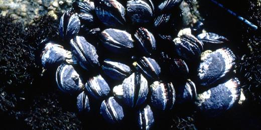 California_mussel