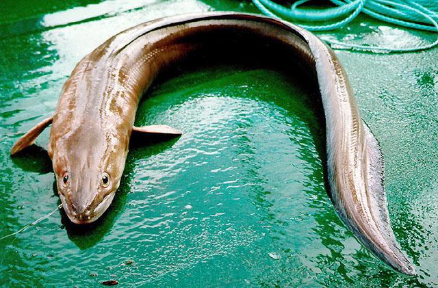 Conger_eel