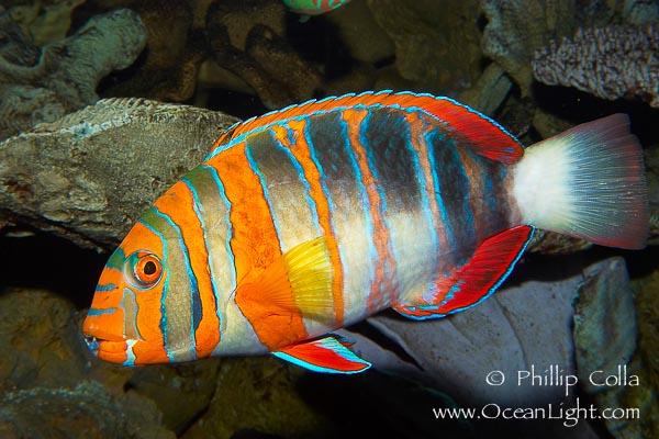 Choerodon-fasciatus-harlequin-tuskfish-image-08846-749623
