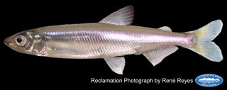 Delta_smelt_adult_(60mm)