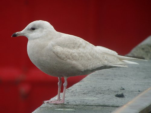 Iceland Gull Rossaveal2 copy