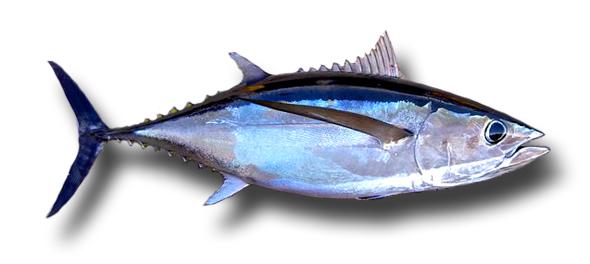1Albacore-Tuna1