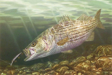 Rock_Star_Striped_Bass