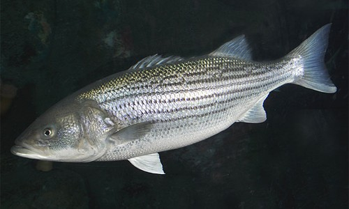 Striped_Bass_page_image1