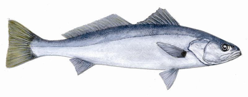 White_seabass_fishid2