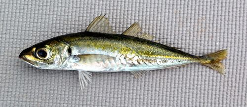 Jack-Mackerel-1