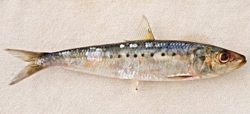 Sardinesnowb