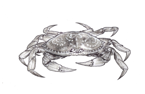2_dungeoness crab