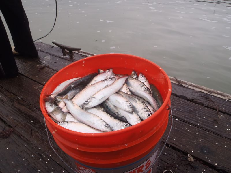 Herring bucket