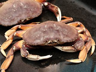 Dungeness-cracked-crab-014